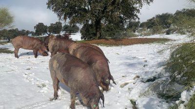 Tres cerdos pastando en la dehesa extremeña tras una nevada